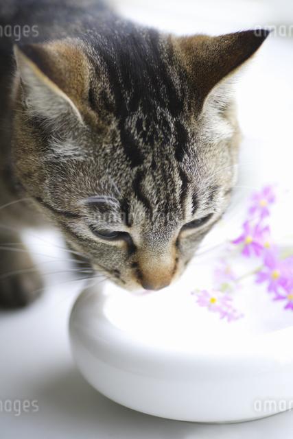 水をなめる猫の写真素材 [FYI04124803]