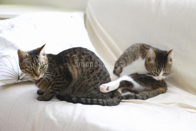 ソファでくつろぐ二匹の猫の写真素材 [FYI04124805]