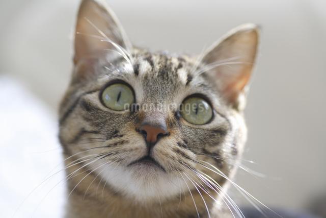 猫のポートレートの写真素材 [FYI04124809]