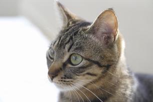猫のポートレートの写真素材 [FYI04124811]