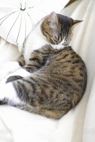 ソファでくつろぐ猫の写真素材 [FYI04124814]