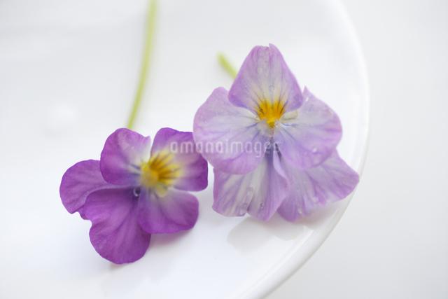 うす紫色のパンジーの写真素材 [FYI04124848]