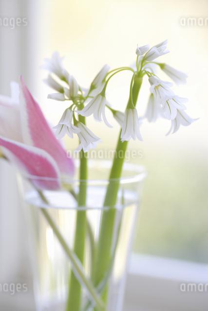 窓辺のチューリップとアリュームの写真素材 [FYI04125174]