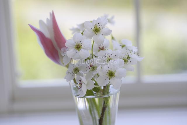 窓辺のチューリップと梨の花の写真素材 [FYI04125218]