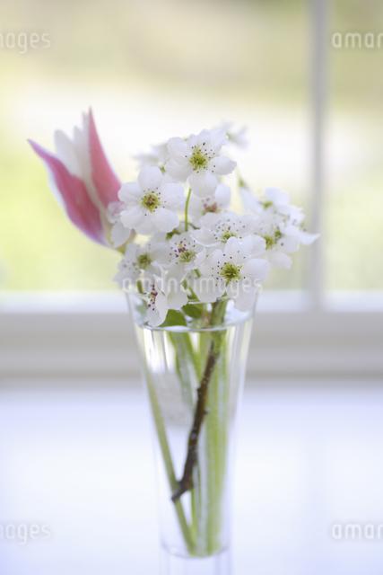 窓辺のチューリップと梨の花の写真素材 [FYI04125219]