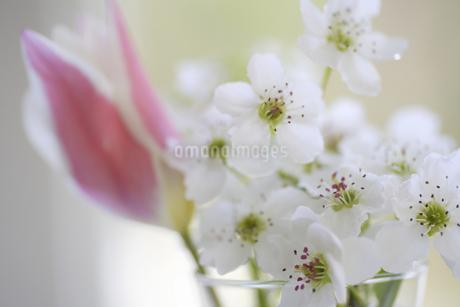 窓辺のチューリップと梨の花の写真素材 [FYI04125220]