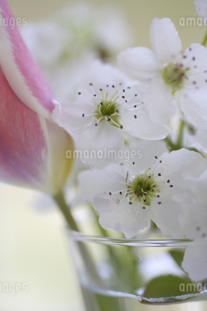 窓辺のチューリップと梨の花の写真素材 [FYI04125223]