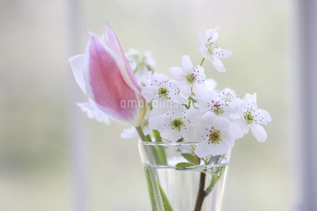 窓辺のチューリップと梨の花の写真素材 [FYI04125224]