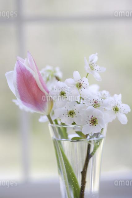 窓辺のチューリップと梨の花の写真素材 [FYI04125225]