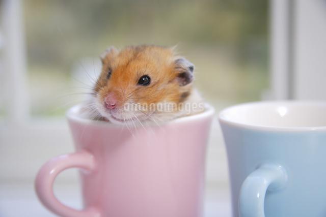マグカップの中のハムスターの写真素材 [FYI04125233]
