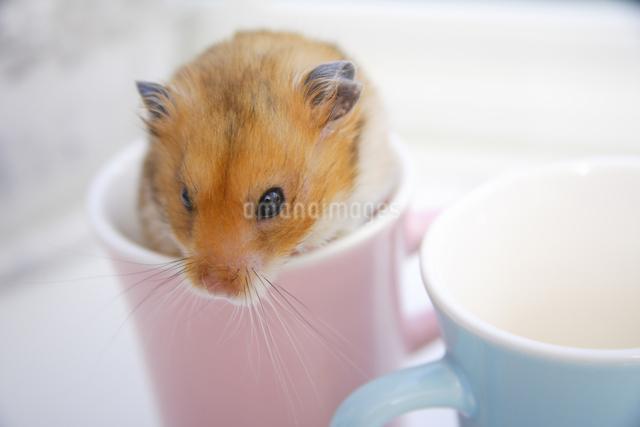 マグカップの中のハムスターの写真素材 [FYI04125237]