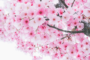 【春】桜の花が咲いている様子の写真素材 [FYI04125858]