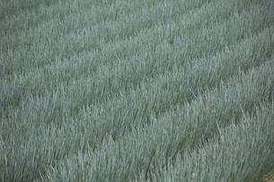玉ネギ畑の写真素材 [FYI04126610]