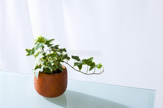 観葉植物の写真素材 [FYI04128462]