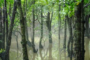 マングローブの森の写真素材 [FYI04129317]