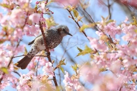 那須塩原道の駅の桜とヒヨドリの写真素材 [FYI04129676]