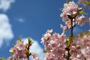 日光市大室ダムの桜の写真素材 [FYI04129888]