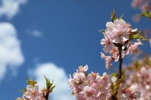 日光市大室ダムの桜の写真素材 [FYI04129889]