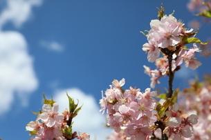 日光市大室ダムの桜の写真素材 [FYI04129890]
