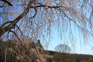 北条家薬師堂の垂れ桜の写真素材 [FYI04129939]