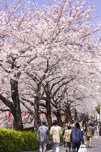 目黒川の桜並木の写真素材 [FYI04130707]