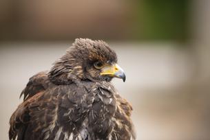 鷹の写真素材 [FYI04130735]