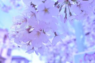 桜の写真素材 [FYI04131120]
