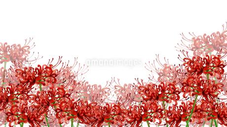 ヒガンバナ水彩画のイラスト素材 [FYI04131537]