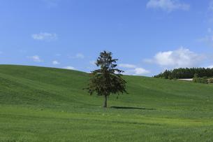 丘の一本の木の写真素材 [FYI04131656]