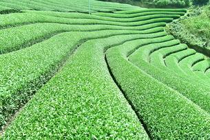 茶畑の写真素材 [FYI04132537]