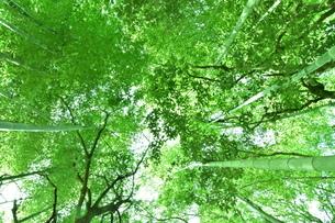 木立を見上げた素材の写真素材 [FYI04132539]