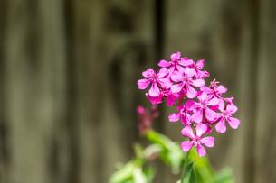 ピンクの花をクローズアップの写真素材 [FYI04132719]