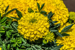黄色いマリーゴールドの写真素材 [FYI04132722]