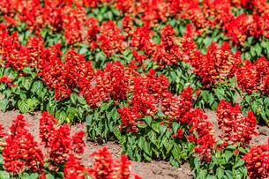 花畑の赤い花の写真素材 [FYI04132723]