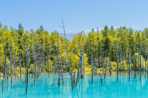 北海道美瑛町の青い池の写真素材 [FYI04132729]