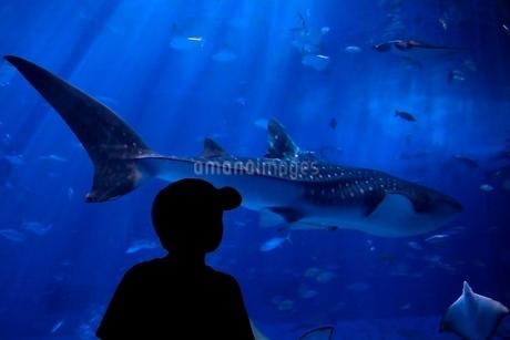 水族館 ジンベイザメの写真素材 [FYI04133101]