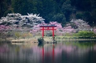 水面に反射する桜、鳥居の写真素材 [FYI04133108]