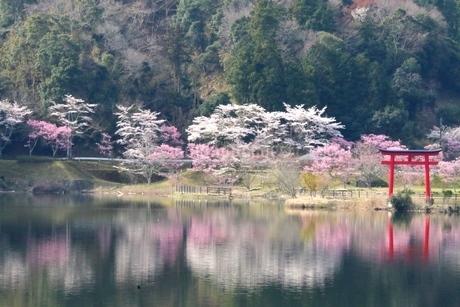 水面に反射する桜、鳥居の写真素材 [FYI04133109]