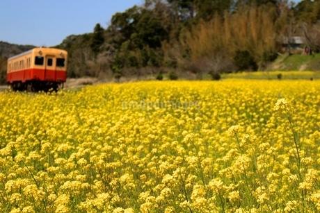 菜の花 鉄道の写真素材 [FYI04133111]