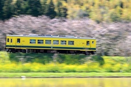 春、桜、菜の花、鉄道の写真素材 [FYI04133115]