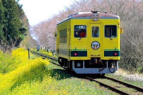 春、菜の花、桜、鉄道の写真素材 [FYI04133118]