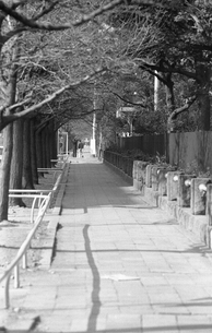 横浜 山下公園の銀杏並木の写真素材 [FYI04134084]