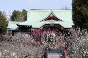 梅の花咲く亀戸天神社の写真素材 [FYI04134133]
