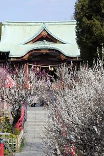 梅の花咲く亀戸天神社の写真素材 [FYI04134136]