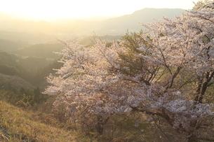 桜景色の写真素材 [FYI04134421]