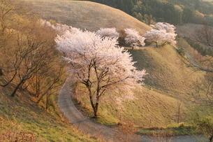 桜景色の写真素材 [FYI04134422]