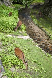 宮島の鹿の写真素材 [FYI04134821]