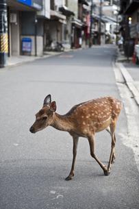 宮島の鹿の写真素材 [FYI04134824]
