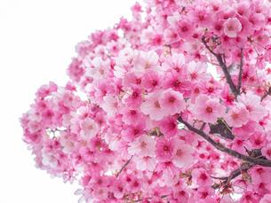 【春】桜の花 白背景の写真素材 [FYI04135028]