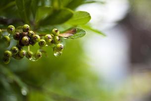 雨に濡れる実の写真素材 [FYI04135075]